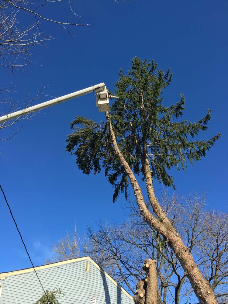 Split Pine Tree Takedown in NJ 2